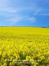 Image - Field of yellow rapeseed, Scottish Borders, Scotland