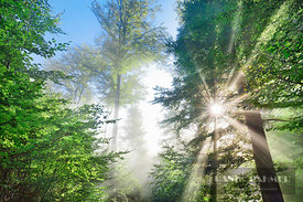 Beech forest with sunrays through fog (lat. fagus sylvatica) - Europe, Germany, Bavaria, Upper Bavaria, Starnberg, Seefeld, M...