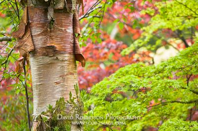 Image - Acer tree trunk and leaves, Crarae Gardens, Argyll, Scotland
