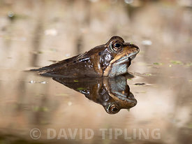 Common Frog  Rana temporaria in pool North Norfolk spring