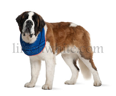 Saint Bernard standing in front of white background
