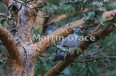 Common Wood Pigeon (Columba palumbus) in a native Scots Pine tree (Pinus sylvestris var scotica), Abernethy Forest, Scottish ...