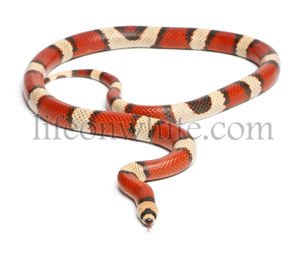 Tricolor vanishing Honduran milk snake, Lampropeltis triangulum hondurensis, in front of white background