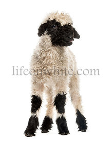 Valais Blacknose Lamb standing in front of white background