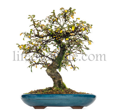 Cotoneaster dammeri bonsai tree, isolated on white