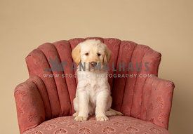 cute labradoodle puppy sitting on chair