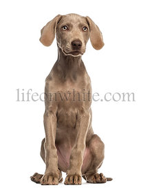 Weimaraner puppy, 2,5 months old, sitting and facing, isolated on white