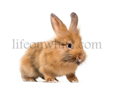 Young Lionhead rabbit, four months old standing against white background