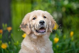 close up of smiling golden retriever puppy