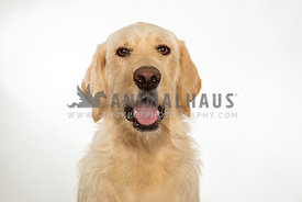 Yellow labradoodle dog with mouth open on white background