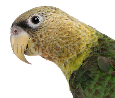 Close-up of Cape Parrot, Poicephalus robustus, 1 year old, in front of white background