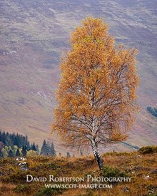 Prints & Stock Image - Silver Birch tree in autumn colours, Glen Lyon, Perth and Kinross, Scotland.