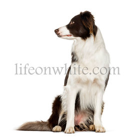 Border Collie sitting against white background