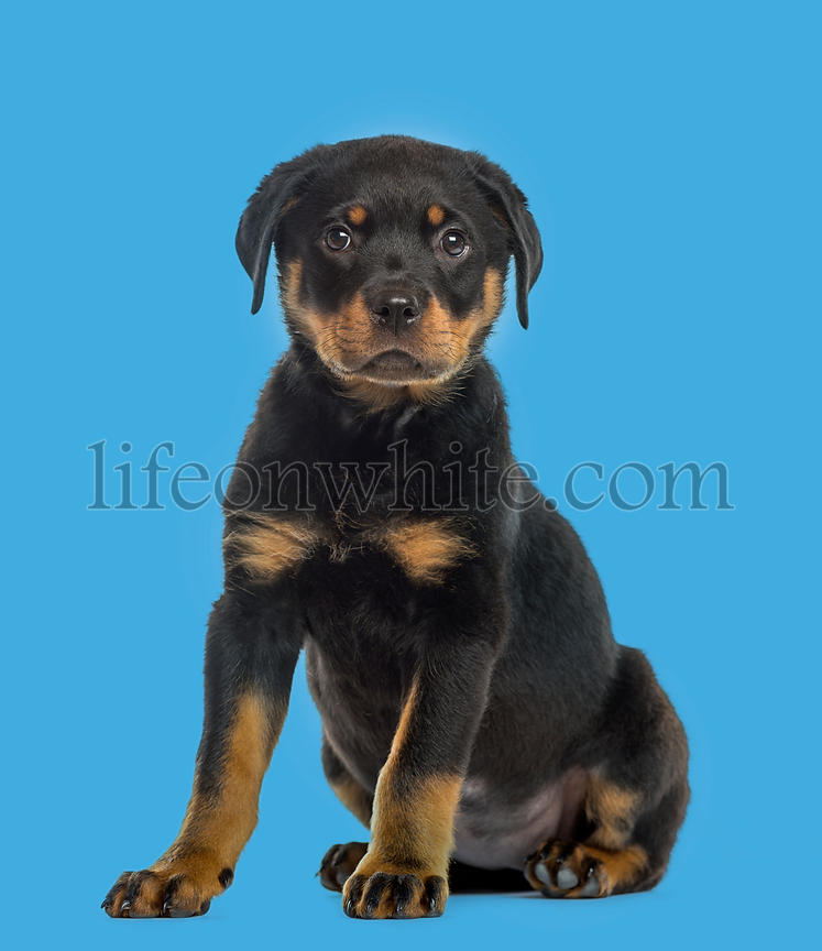 Rottweiler puppy isolated on blue background