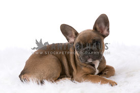 Fawn french bulldog puppy laying on white fur rug in studio
