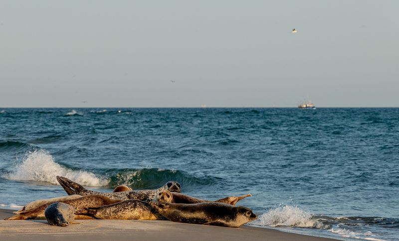 Seals in Skagen, Denmark