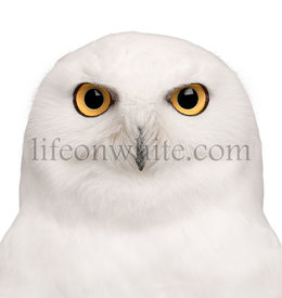 Close-up of Male Snowy Owl, Bubo scandiacus, 8 years old, in front of white background