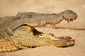 Nile Crocodile, Namibia