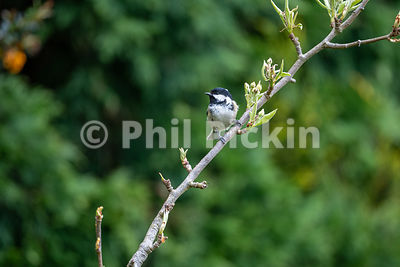 Coal tit [Periparus ater] on a branch.