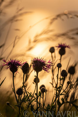 Cirsium Arvense-Creeping thistle at sunset∞Cirsium Arvense-Chardon des champs au coucher de soleil, France, Pas de Calais, Cô...