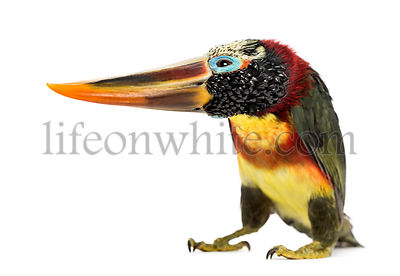 Curl-crested aracari flipping the head, isolated on white