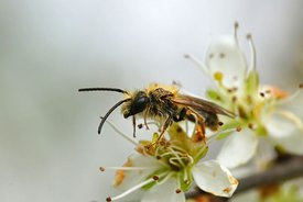 Closeup of a male  orange-tailed mining bee, Andrena haemorrhoa, on white flowers of blackthorn, Prunus spinosa