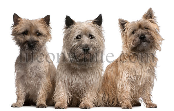 Cairn Terriers, 12 and 2 years old, sitting in front of white background