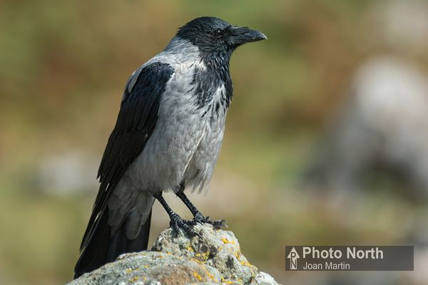 CROW 10A - Hooded crow