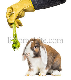 Gloved hand holding celery to rabbit in front of white background