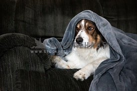 A shepherd dog covered in a blanket on a couch