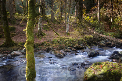 Trees growing on banks of mountain stream.