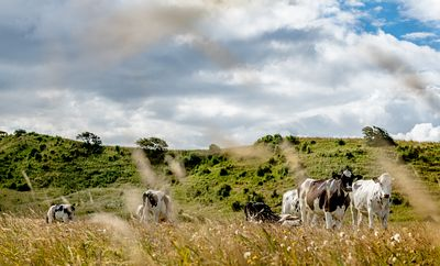 Mors landscape with cows, Denmark 5