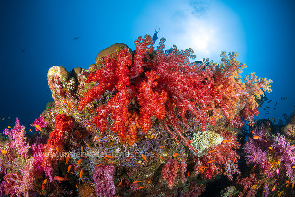 Soft coral of Andaman Sea