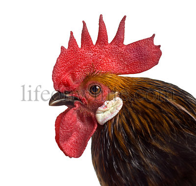 Close-up of a Bassette rooster isolated on white