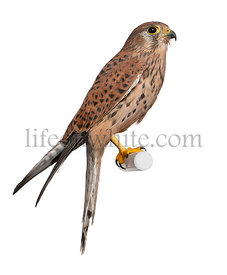 Common Kestrel, Falco tinnunculus, perching in front of white background
