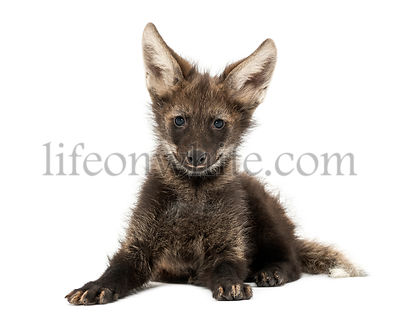 Maned Wolf cub lying, looking at the camera, Chrysocyon brachyurus, isolated on white