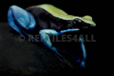 Blue-legged Mantella (Mantella expectata)
