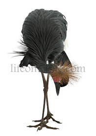 Black Crowned Crane, Balearica pavonina, 15 years old, standing against white background