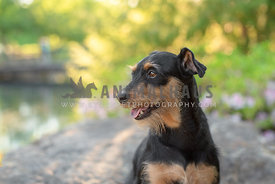 close up of black and tan terrier mix looking away