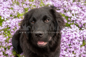 Close up of a newfoundland puppy sitting in purple flowers
