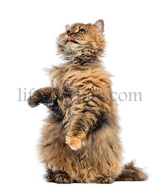 Selkirk Rex, 5 months old, standing on hind legs and reaching, licking against white background