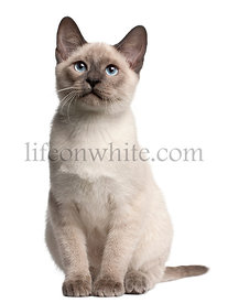 Thai kitten, 4 months old, sitting in front of white background