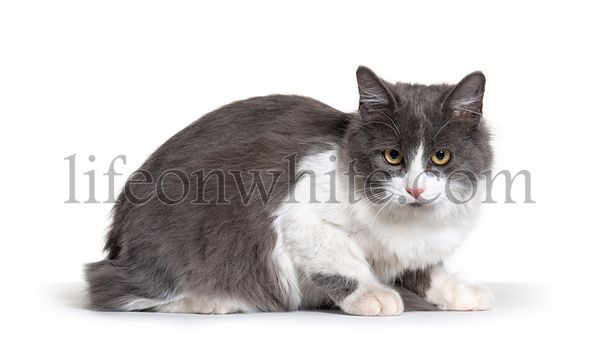 lying young Crossbreed cat white and grey