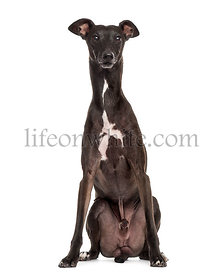 Italian Greyhound isolated on white