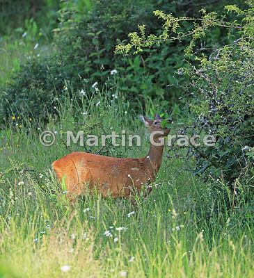 Roe Deer doe (Capreolus capreolus) feeding on hawthorn and bramble scrub in golden evening sunlight at the edge of a South La...