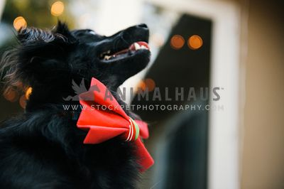 A close up of a Christmas bow tie on a fluffy black dog