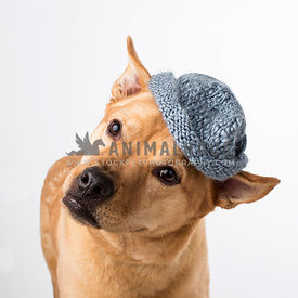 Engaging mutt tilts head while wearing a blue knitted cap