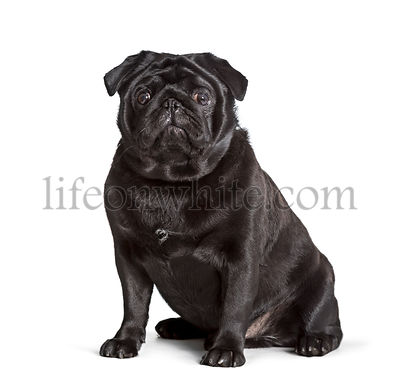 Carlin sitting against white background, pug