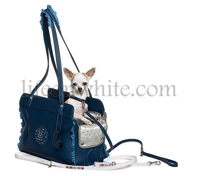 Chihuahua puppy (6 months old) in a blue leather bag in front of white background