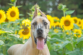 head shot of smiling great dane in sunflower field